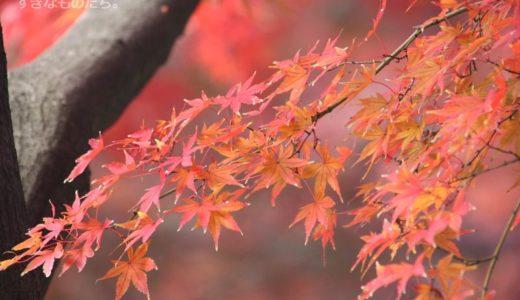 旧古川庭園にて。バラと紅葉がそろい踏み!美しい洋館を背景に映えるバラ園と日本庭園、和と洋が両方楽しめます。