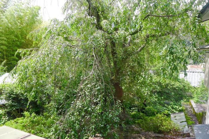 湯河原_オーベルジュ湯楽の中庭のしだれ桜