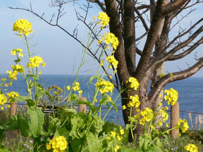 伊豆城ケ崎フラワーガーデンに咲く菜の花