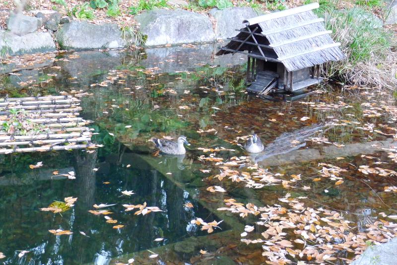 伊豆高原_きらの里の池で泳いでいる鴨