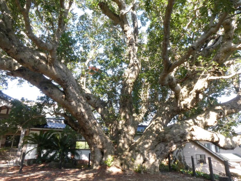 伊豆_蓮着寺の国の天然機縁物 ヤマモモの木