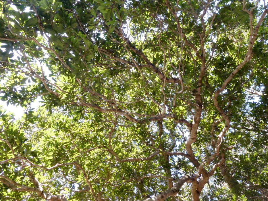 伊豆_蓮着寺_ ヤマモモの大木
