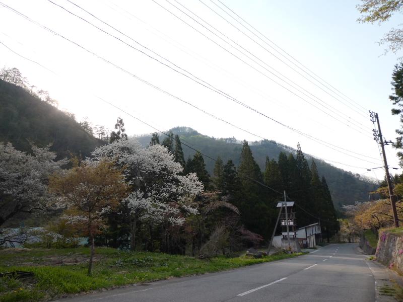 白布温泉_別邸山の季の目の前の道路にはまだ桜が咲いていました
